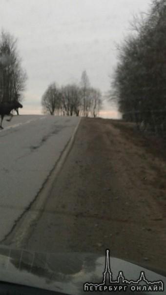 Сегодня были замечены три лося на дороге в Скотном.